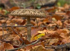 Pilz im Herbstlaub