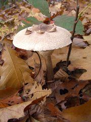 Pilz im Herbstwald -1