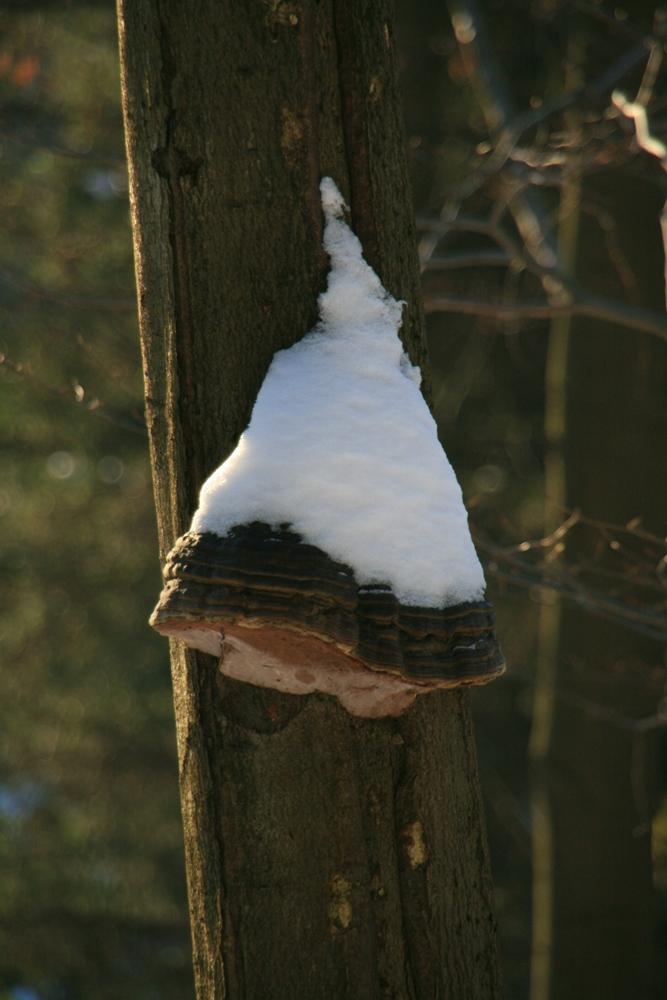 Pilz mit Mütze