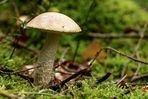 Pilz - Rauhfußröhrling