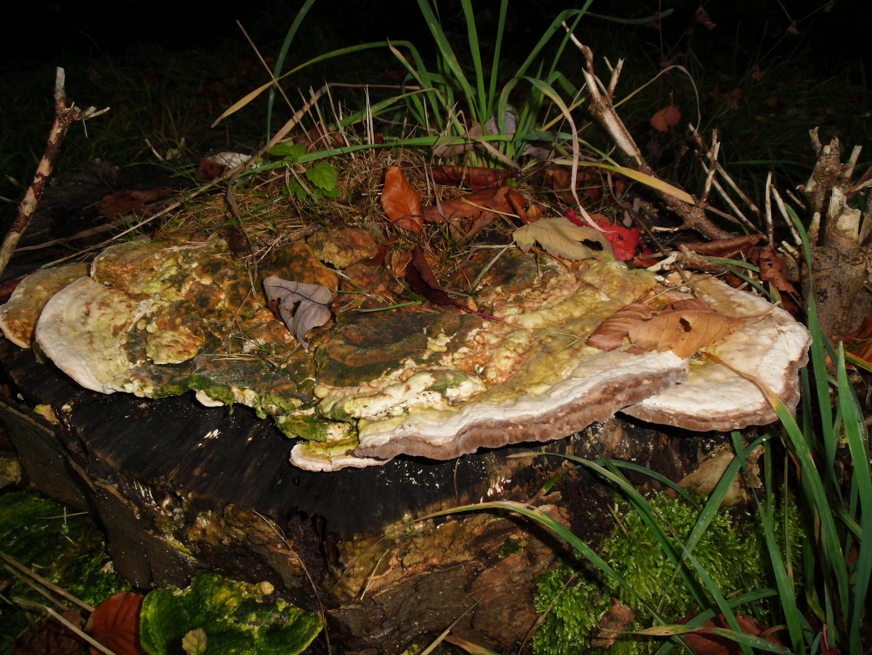 Pilz so groß wie ein Teller