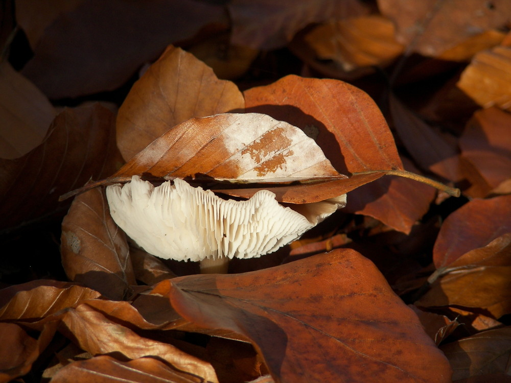 Pilz unter Herbstlaub