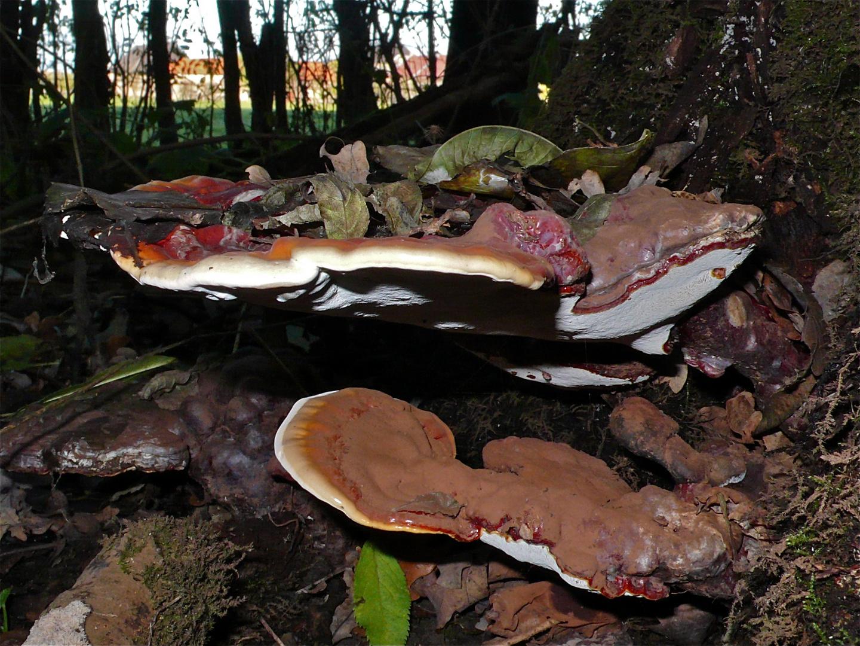 PILZ XXV: Das müßte der Glänzende Lackporling* sein (Ganoderma lucidum)