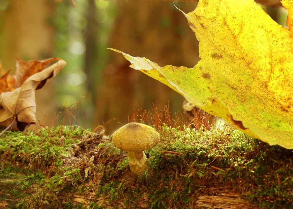 Pilzchen im Herbstwald