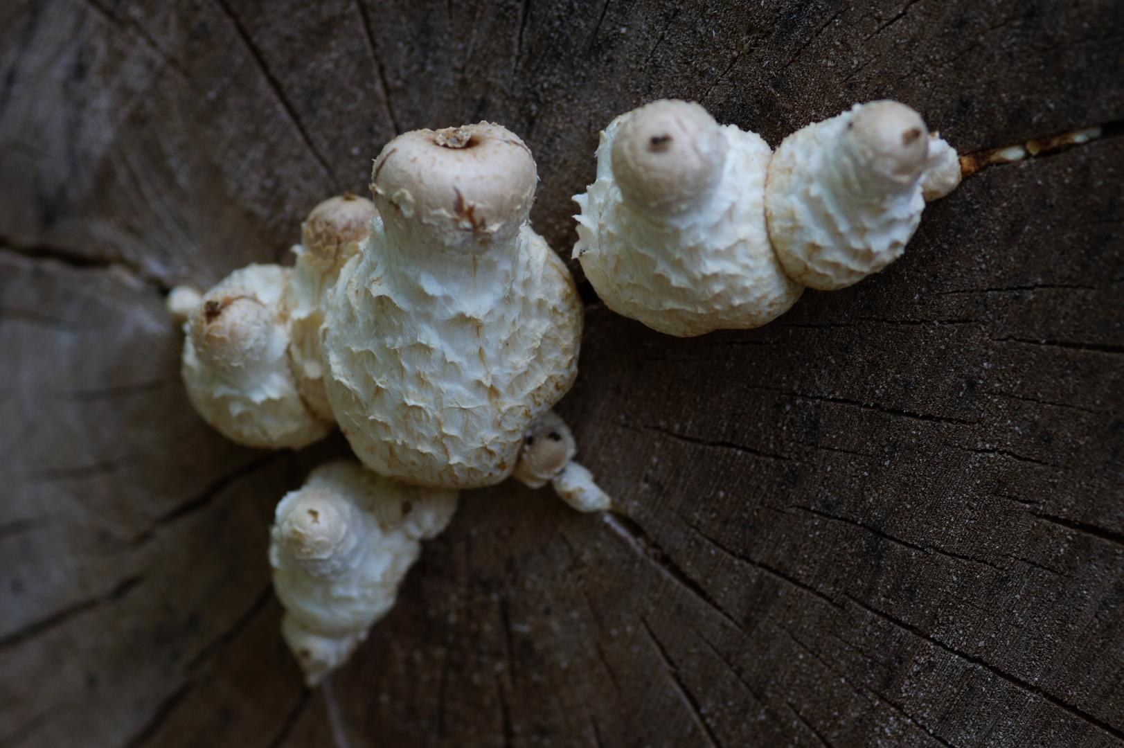 Pilze am Totholz (Pappel)