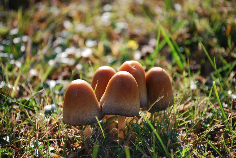 pilze auf dem rasen foto bild pflanzen pilze flechten pilze flechten trees and. Black Bedroom Furniture Sets. Home Design Ideas