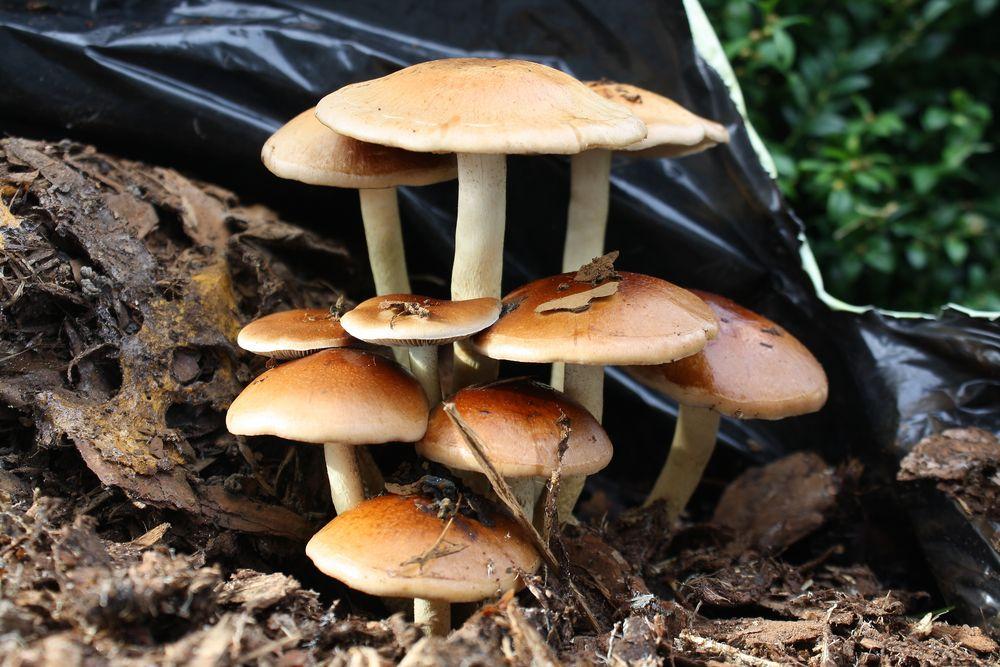 pilze auf rindenmulch foto bild pflanzen pilze flechten pilze flechten natur bilder. Black Bedroom Furniture Sets. Home Design Ideas