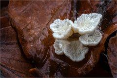 Pilze, die auf Blättern wachsen...