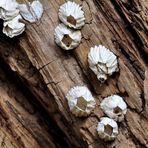 "Pilze die aussehen wie Blütenkelche.....???? NEIN ""Seepocken"" lt@André"