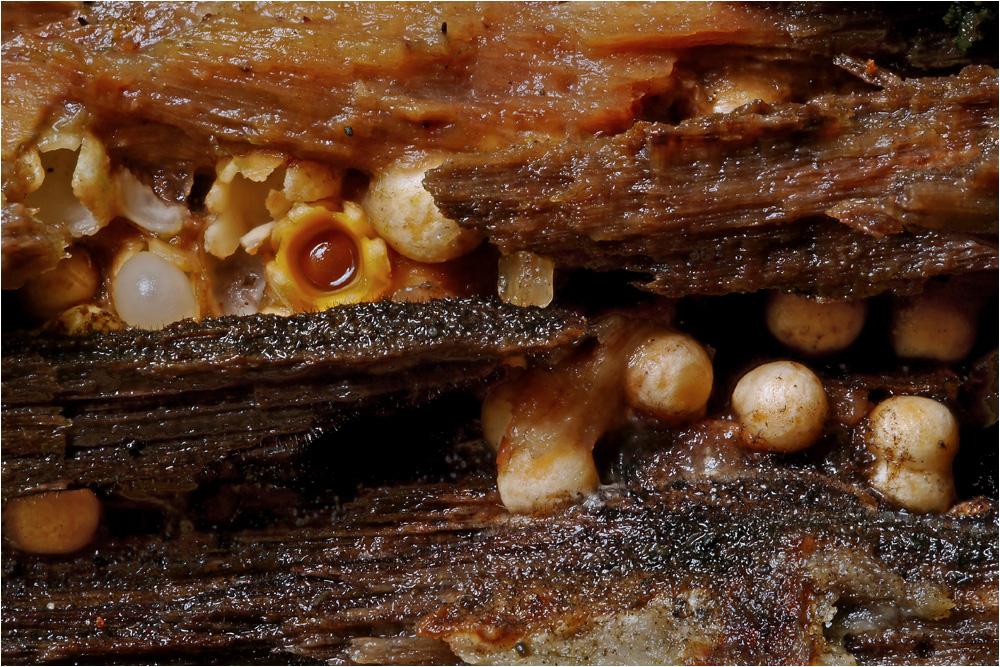pilze die man h ren kann foto bild pflanzen pilze flechten pilze flechten pilze. Black Bedroom Furniture Sets. Home Design Ideas