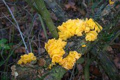 Pilze im Januar - Goldgelber Zitterling