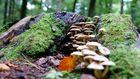 Pilze stürmen einen Baumstumpf ....