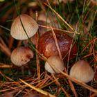 Pilze vom 13.10.19 (4)