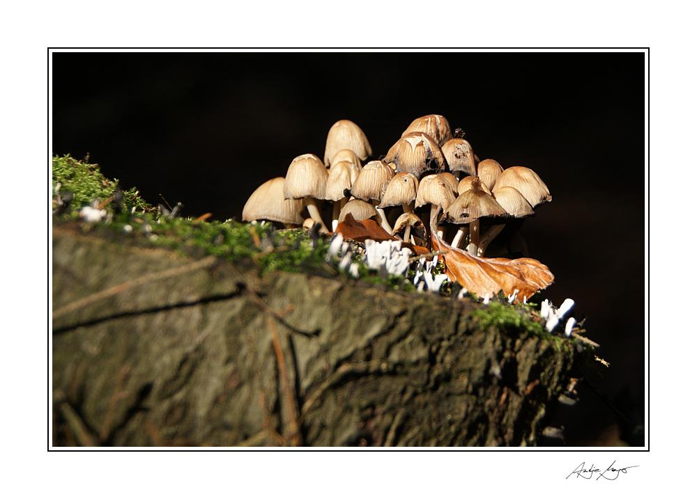 Pilzgruppe am Baumstumpf