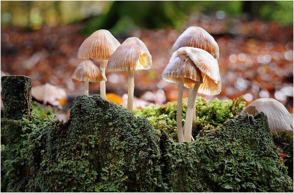 Pilzgruppe auf Baumstumpf