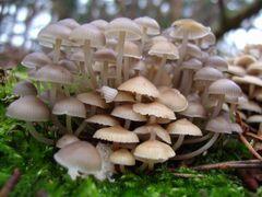Pilzgruppe im Wald II