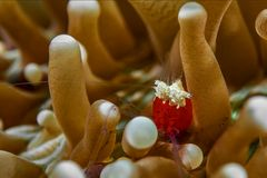Pilzkorallen - Garnele