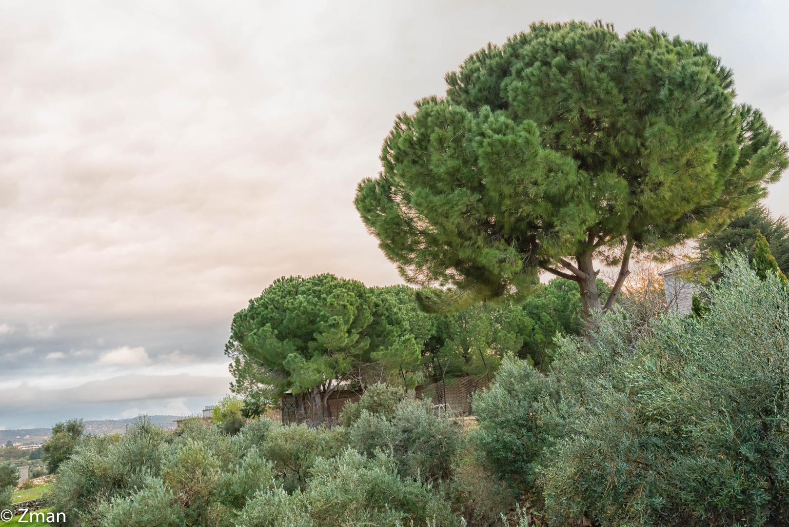 Pine and Olive Trees SPO_5278-4