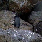 Pingouin bleu à Melbourne Australie