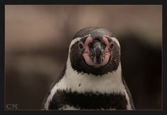 Pingu Portrait