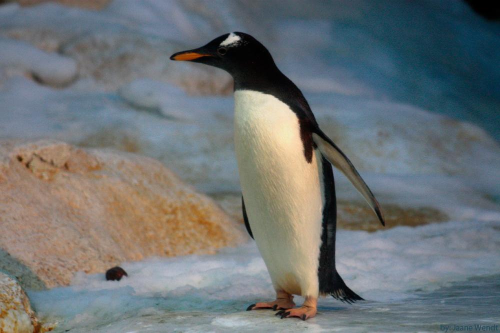 Bild Pinguin