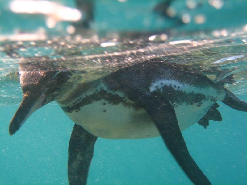Pinguin bei Bartalomé, Galapagos