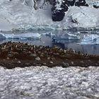 Pinguin Brutkolonie in der Antarktis