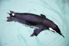 Pinguin im Wasser...