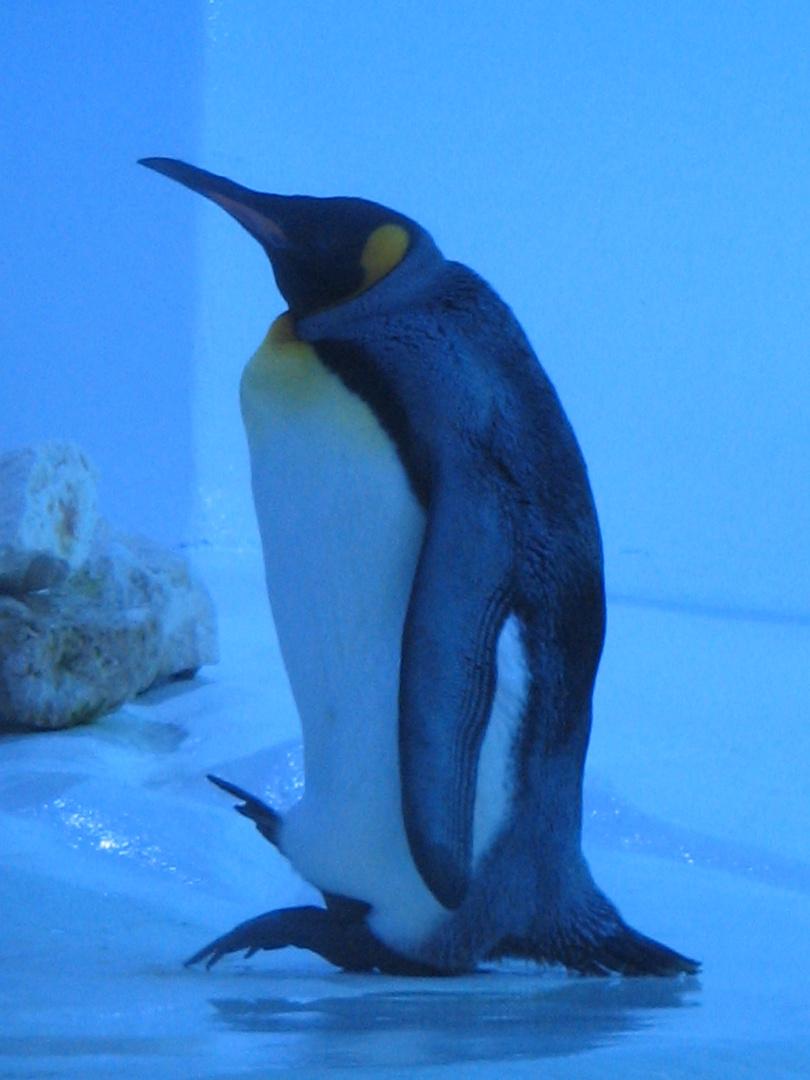 Pinguin im Zoo Berlin