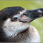Pinguin-Portrait