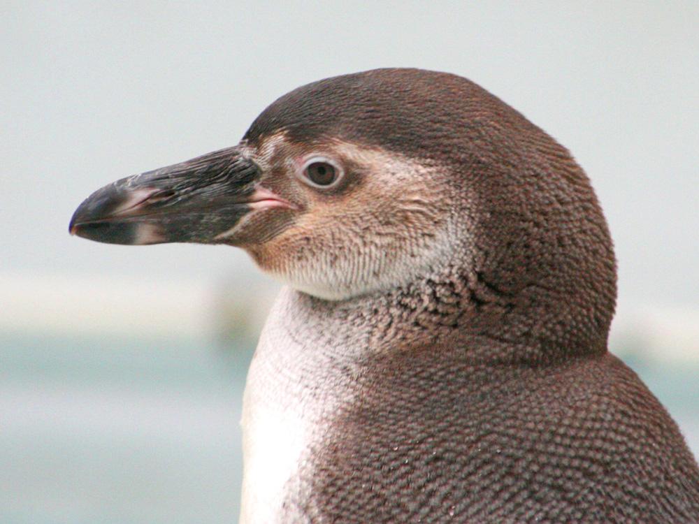 Pinguin-Portrait