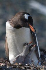 Pinguine auf Süd-Georgien