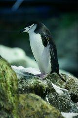 Pinguine auf Teneriffa