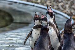 Pinguine im Saarbrücker Zoo