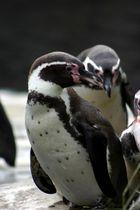 Pinguine in Eintracht beisammen