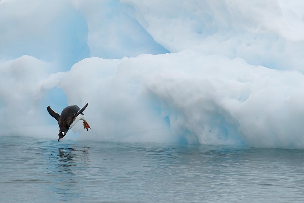 Pinguine können nicht fliegen...