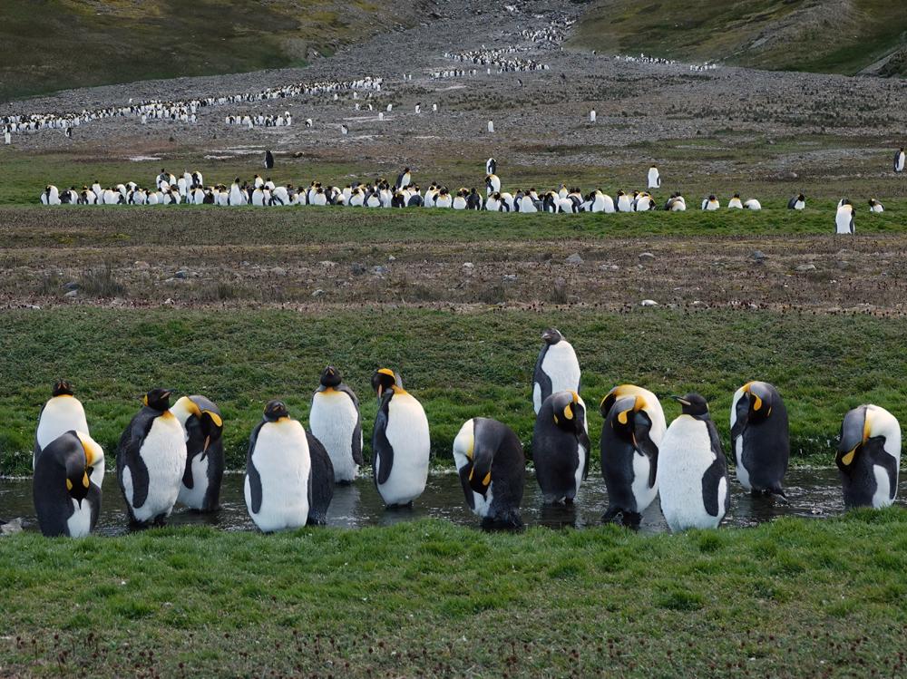Pinguinen Brutkolonie auf Südgeorgien