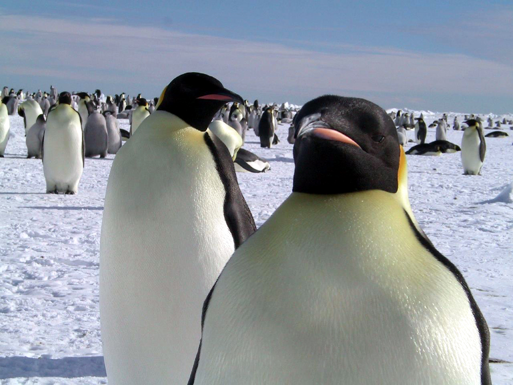 Pinguino Imperatore a Cape Washington Polo Sud