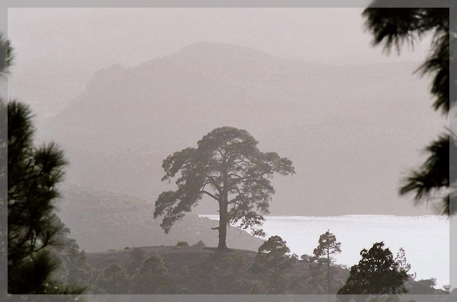 Pinie im Nebel