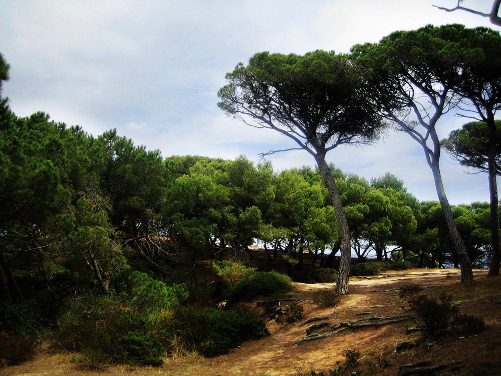 Pinien Wald