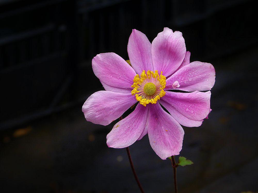 Pink anemone flower in October