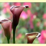 Pink Cala Lilies