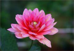 """""""pink dahlia"""""""