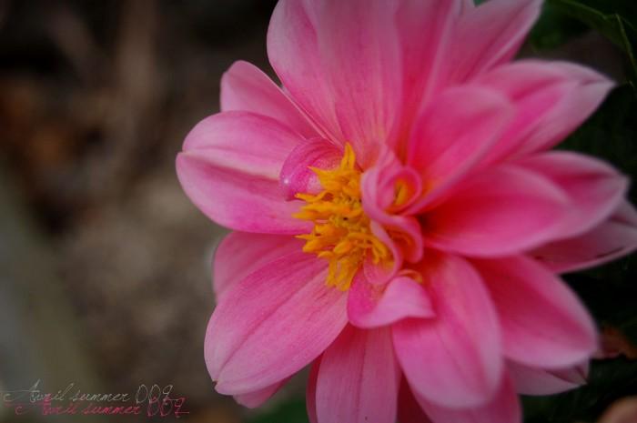 Pink flower; Pretty & romantic
