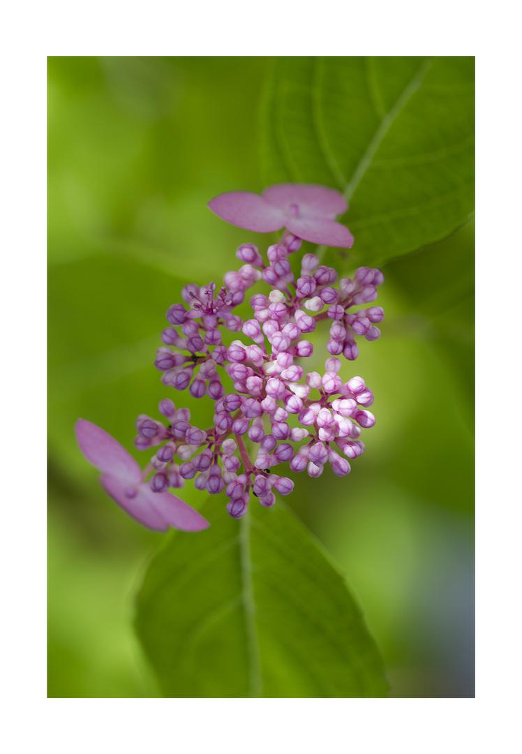Pink Hydrangea-2