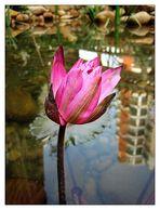 pink lotus flower(1)