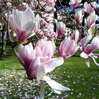 Pink Magnolia blooming