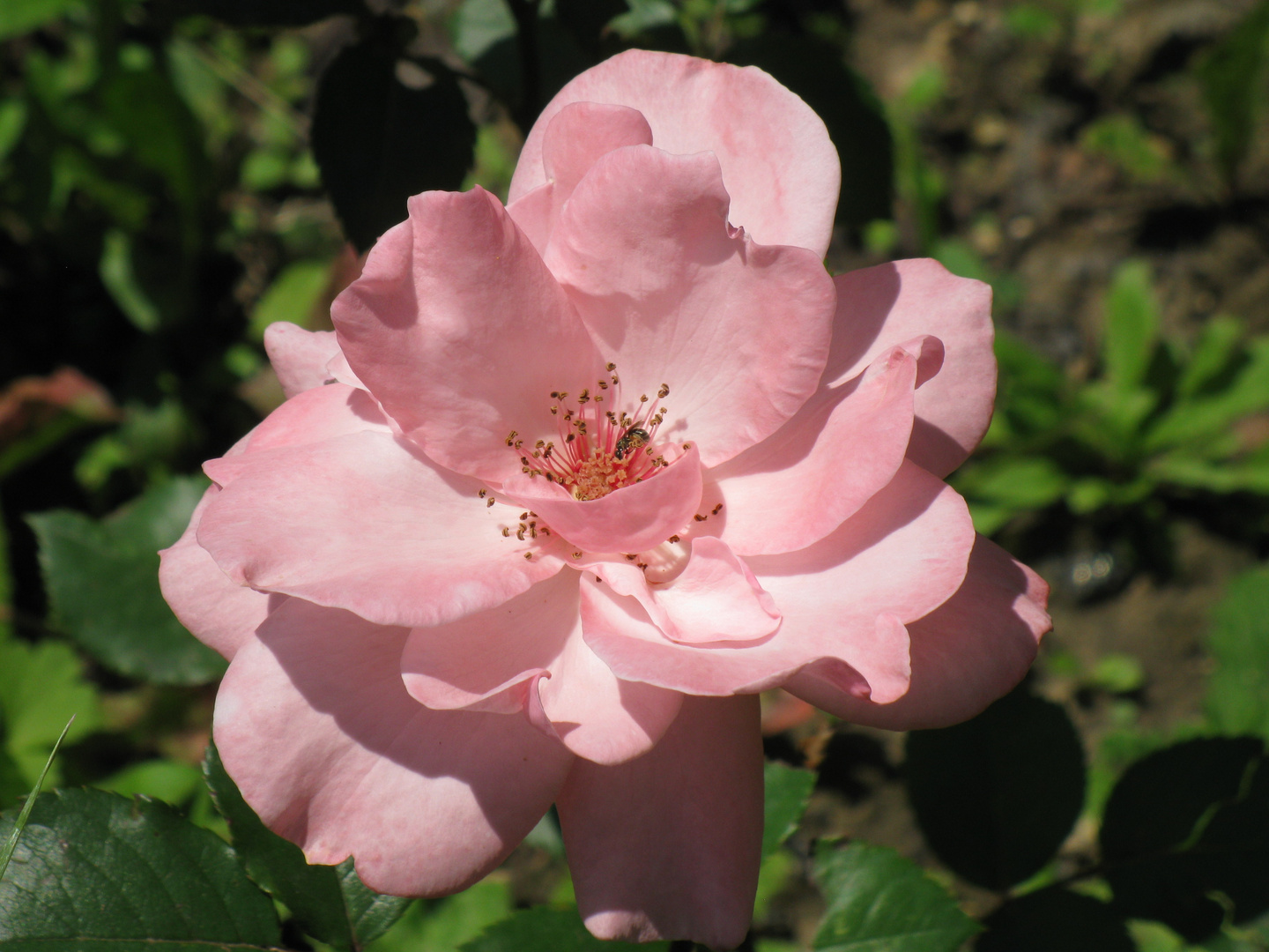 pink open rose