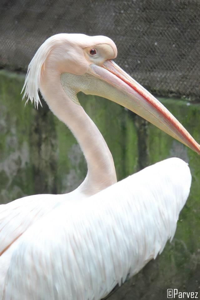 Pink Pelican