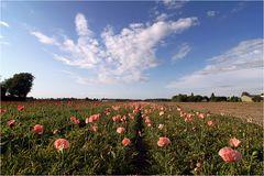 ~ pink poppy ~